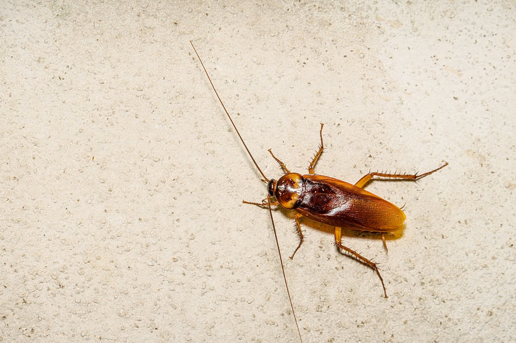 Cockroach Control, Pest Control in West Drayton, Harmondsworth, Sipson, UB7. Call Now 020 8166 9746