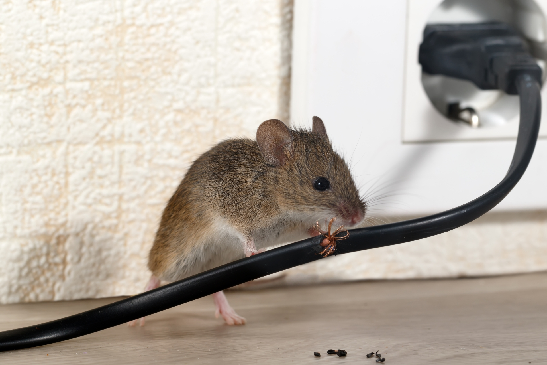 Mice Infestation, Pest Control in West Drayton, Harmondsworth, Sipson, UB7. Call Now 020 8166 9746