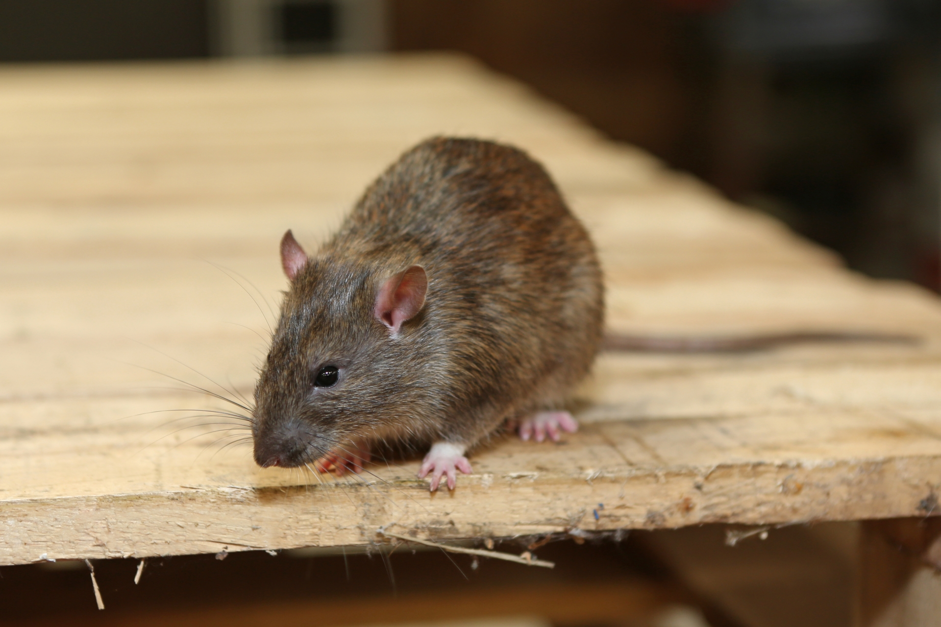 Rat Control, Pest Control in West Drayton, Harmondsworth, Sipson, UB7. Call Now 020 8166 9746
