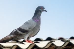 Pigeon Pest, Pest Control in West Drayton, Harmondsworth, Sipson, UB7. Call Now 020 8166 9746